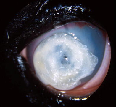equine fungal keratitis - photo #38